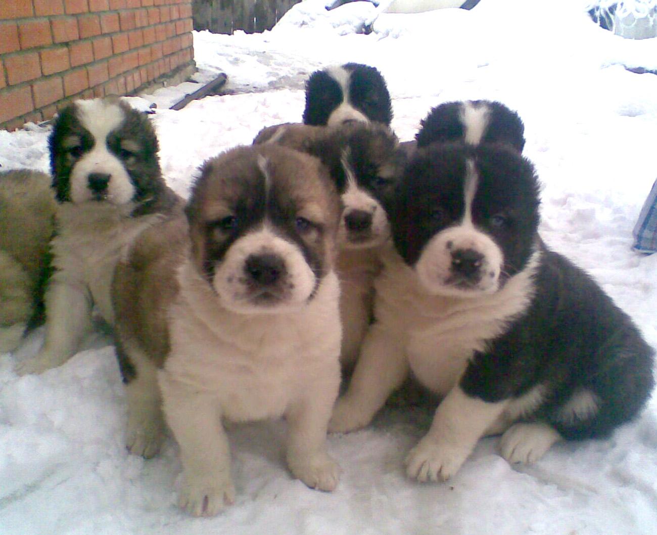 фото алабая щенков
